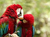 picture of green-winged macaw  - The green - JPG