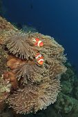 Pair Of Clown Anemonefish in underwater anemone on coral reef