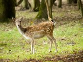 Female Fallow Deer (dama Dama) In The Waterleidingduinen, The Netherlands
