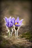 stock photo of windflowers  - Beautiful tiny purple windflowers in early Spring - JPG