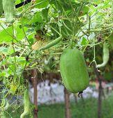 Wax Gourd In A Vegetable Garden