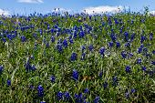 Texas Bluebonnet Wildflowers