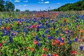 Texas Bluebonnet and Indian Paintbrush Wildflowers with Blue Skies