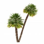Palm tree isolated. Chamaerops humilis