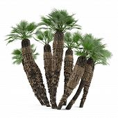 Palm plant tree isolated. Chamaerops humilis