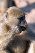Baboon Chewing On Fruit