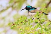 Sunbird, White Belly - Colorful Wild Bird Background from Africa - Fantastic Colors
