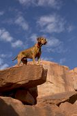 image of vizsla  - pure breed golden color vizsla dog standing on the top of limestone cliff with blue sky in background - JPG