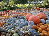 Pumpkin Patch - Dallas Arboretum