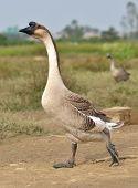 Walking goose