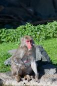 Macaque Monkey Bathing