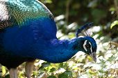 image of indian peafowl  - Image of a wild Indian Peafowl  - JPG