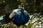 foto of indian peafowl  - Image of a wild Indian Peafowl  - JPG