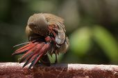 Young Red-billed Firefinch In A Strange Preening Contortion