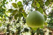 pic of pomelo  - Image of a pomelo growing in an orchard - JPG