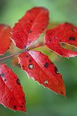 Autumn Background Of Red Leaves