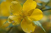 Water Drops On A Yellow Flower