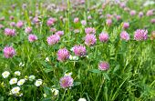 picture of red clover  - Closeup of Red Clover or Trifolium pratense in a field with some Common Daisies too - JPG