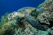 Hawksbill Turtle eating coral