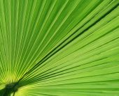 pic of tree leaves  - A closeup of a backlit palm leaf - JPG