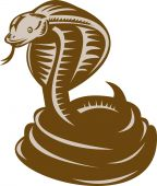 pic of king cobra  - illustration of a king cobra coiled about to strike - JPG