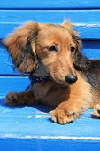 Longhair Dachshund puppy on weathered blue background. Also available in horizontal.