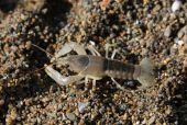 Scurrying Crayfish
