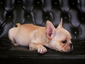 French Bulldog Puppy  Lying On Sofa Bed With Relaxing Emotion