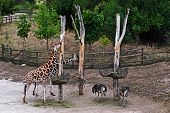 Group Giraffes And Ostriches