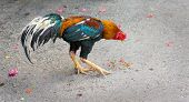 Thai cock pecks grain on the street