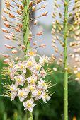 Foxtail Lily (eremurus) Flowers