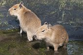 Two Adults Capybara (hydrochoerus Hydrochaeris)
