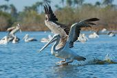 Pink-backed Pelican In Flight On A Lunge For Fish