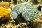 picture of angelfish  - Closeup of beautiful French Angelfish in Caribbean sea - JPG