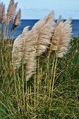 stock photo of pampa  - Landscape with Pampas Grass on the coast - JPG
