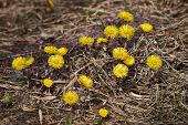 Flowers Shoots Mother And Machihi (tussilago Fartura).