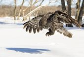 image of snow owl  - Great Grey Owl landing on snow with talons out - JPG
