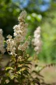 pic of meadowsweet  - The White Spiraea  - JPG