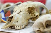 foto of prehistoric animal  - anatomy study of animal skull comes from laboratory of archaeological research