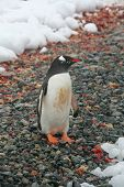 Gentoo Penguin, On Rocky Beach