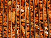 storage dry corn in the storehouse