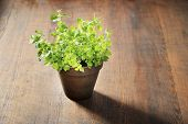 Oregano in a clay pot on wooden background.