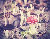 Vintage Filtered Picture Of Toadstool In Forest.