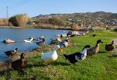 Domestic Ducks In A Meadow Near The Pond poster