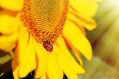 Beautiful sunflower in field close up