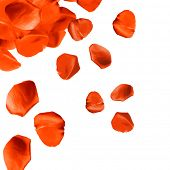 Falling rose petals close-up isolated on white