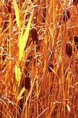 picture of bulrushes  - Bulrush - JPG
