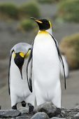 Two King Penguin (Aptenodytes patagonicus) walking behind each other