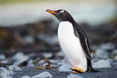 Gentoo Pinguin (Pygoscelis papua) on a rocky beach