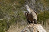 Griffon vulture on a rock.